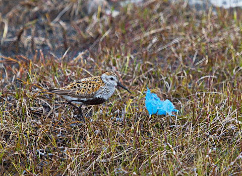 Dunlin with plastic exposure on the tundra (photo credit: Maria Gavrilo)